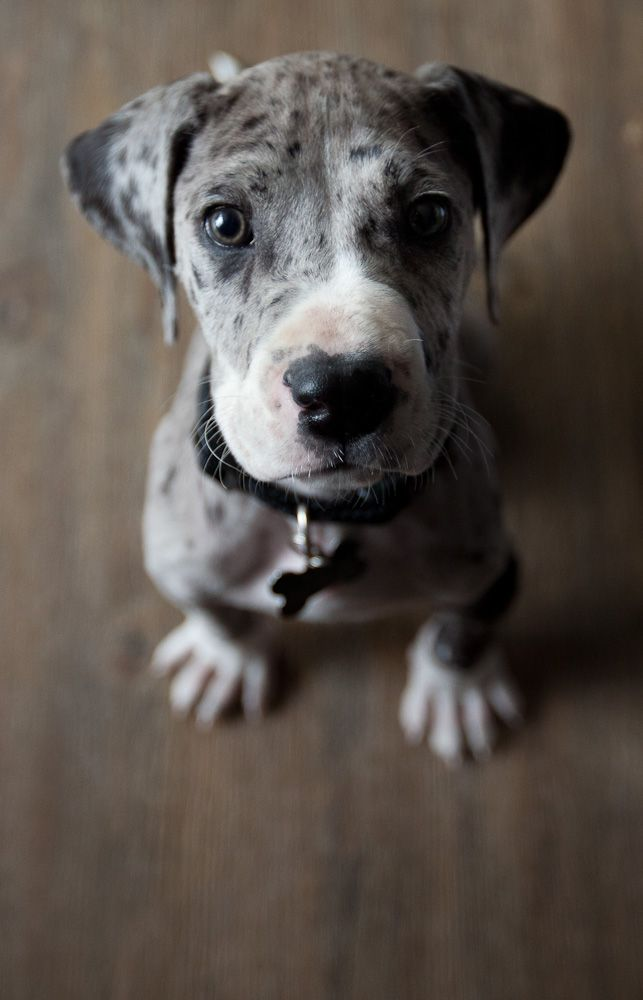 merle great dane puppy.... look at that cute widdle face!!! <3<3<3