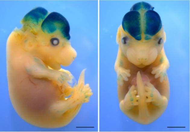 Hjernegevinst. Hvis et musefoster får sprøjtet et stykke menneske-dna ind i hjernen, vokser hjernen sig 12 procent større. Den blå farve viser, hvor det fremmede menneske-dna findes og virker i hjernen. - Foto: Silver Lab, Duke University