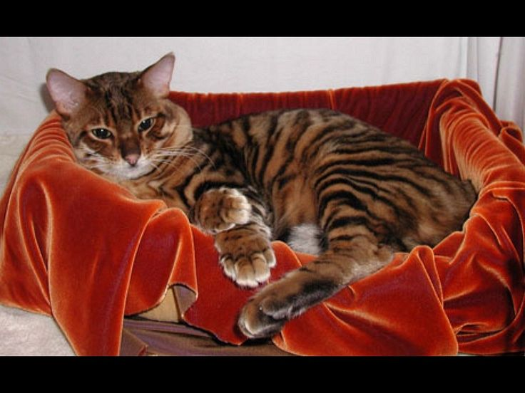 The Toyger, a cat breed bred to resemble a Tiger.