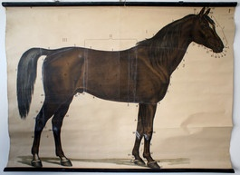 Original vintage zoology wall chart of the day: horse
