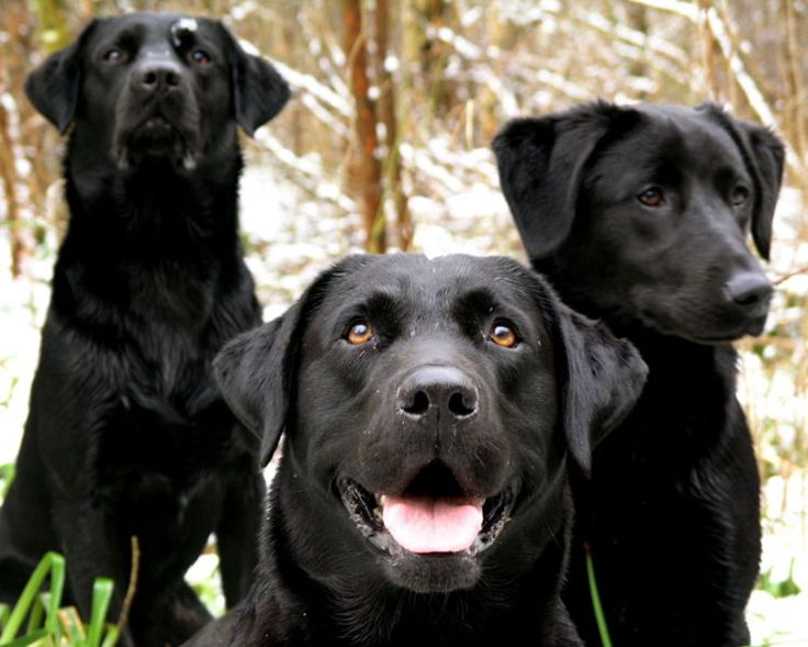 Black Labradors. Lovely aren't they?: Dogs, Black Labradors, Blacklabs, Labrador Retrievers, Black Labs, Animal