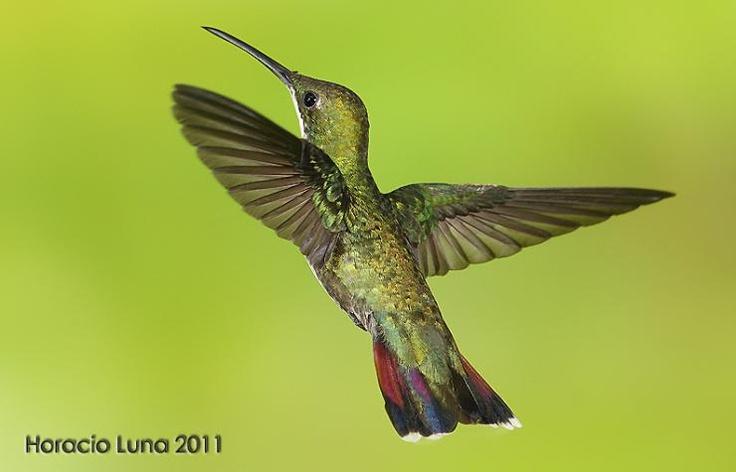 Black-throated Mango (Anthracothorax nigricollis)      Female in flight