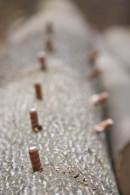 Innoculating oak logs with oyster mushroom dowels