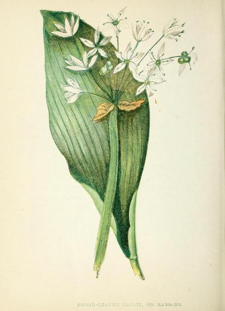Broad Leaved Garlic botanical