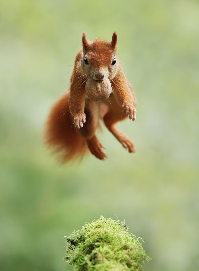 "beautiful-wildlife: "" Acrobat by Julian Rad """