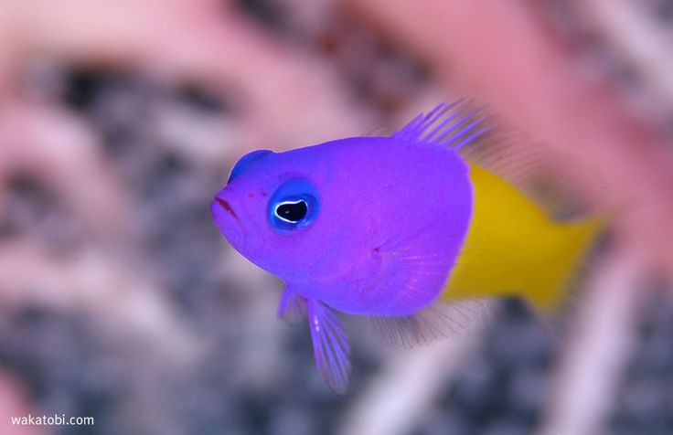 Also known as the Bi-color Pseudochromis, the Blue Eye Royal Dottyback is a fish with vivid colors; while the back half of the Royal dotty back fish is a combination of orange and yellow, the front portion is dominated by violet. Like the rest of the family, the Royal Dotty back fish are also hermaphrodites and can adopt either male or female characteristics. (Photograph: Richard Smith)