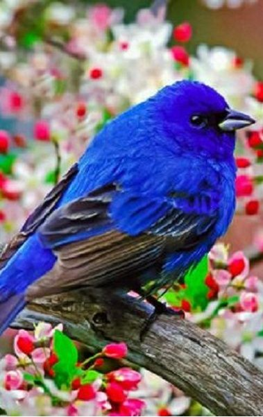 VERY BRIGHT BLUE BIRD OF HAPPINESS……………….ccp | BLUE ... | 379 x 601 jpeg 43kB