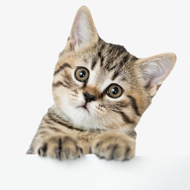Cute Kitten Pictures Cute Clipart Pet Kitty Png And Vector With Transparent Background For Free Download Best Cat Litter Kittens Cutest Kitten Pictures