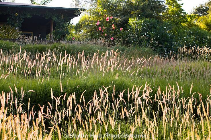 meadow garden drought tolerant front yard lawn substitute using flowering ornamental fountain grass pennisetum fairy tails in santa barbara calif - Garden Design Using Grasses