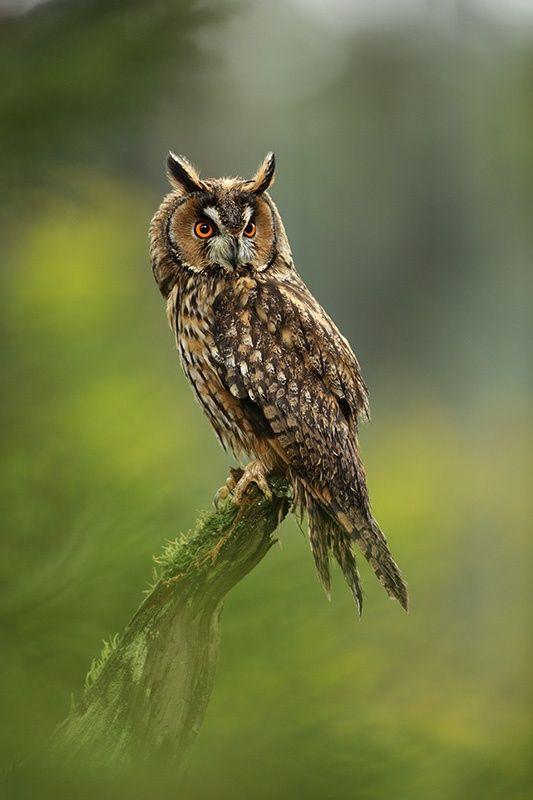 """beautiful-wildlife: """" Long-eared Owl by Jirí Míchal """""""