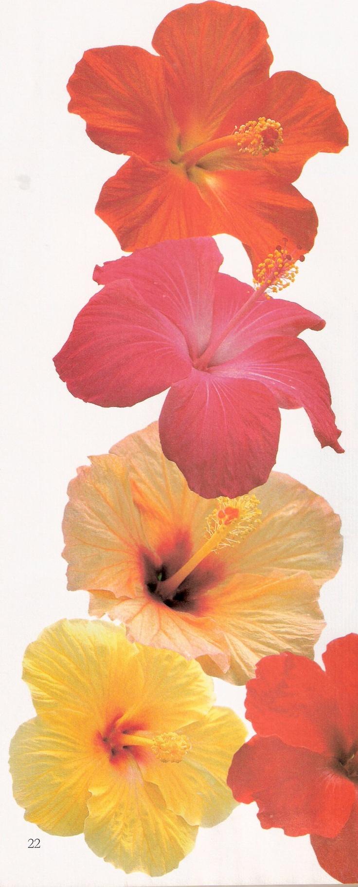 78 best hibiscus flowers images on pinterest hibiscus flowers hibiscus izmirmasajfo Gallery