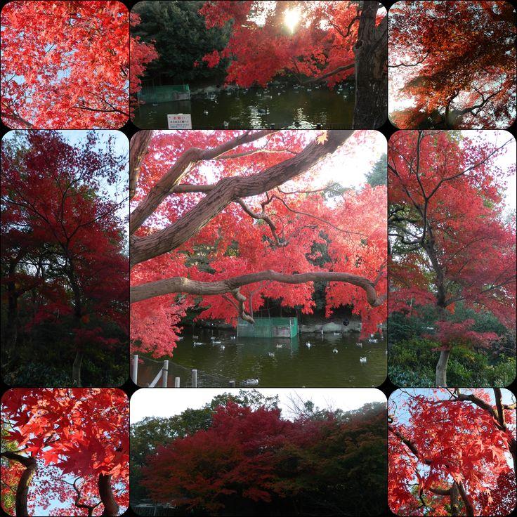 紅葉。  愛知県、名古屋市、東山公園。