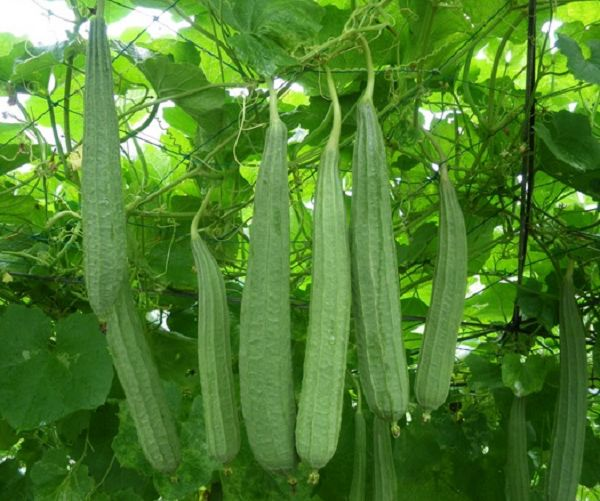 Kisah sukses petani gambas menjadi inspirasi petani pemula untuk mencoba membudidayakan sayuran gambas tersebut. Berikut ulasannya. http://mediatani.co/kisah-sukses-petani-gambas/