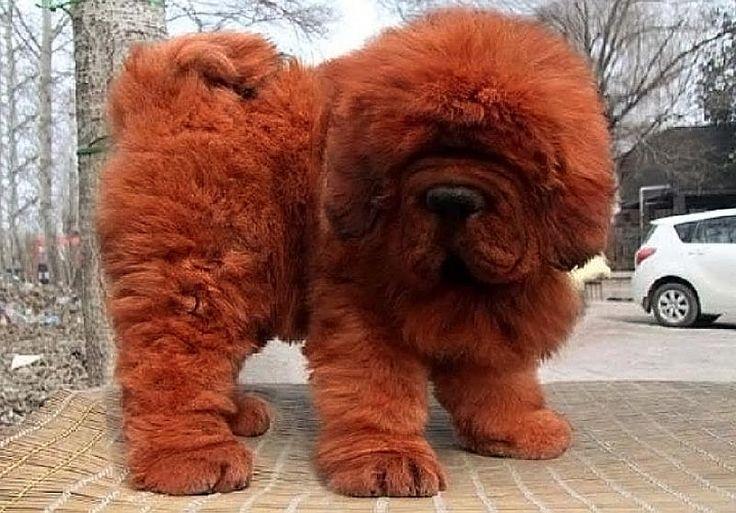 a-large-tibetan-mastiff