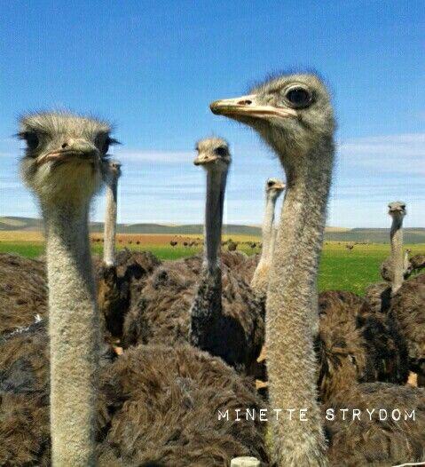Feathered friends near Heidelberg, Western Cape,  South Africa