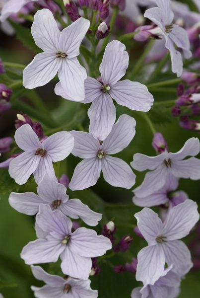 Lunaria rediviva: perennial honesty, fragrant delicate mauve flowers in early summer, oval translucent seed pods.