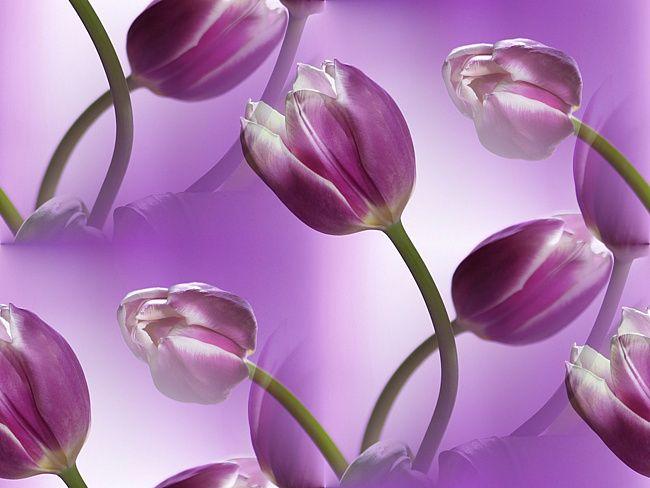 фон для дневника Фиолетовые тюльпаны