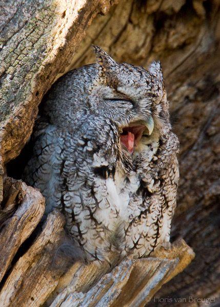 Cute Owl (Eastern Screech-Owl - Otus asio), Ithaca, New York ∞