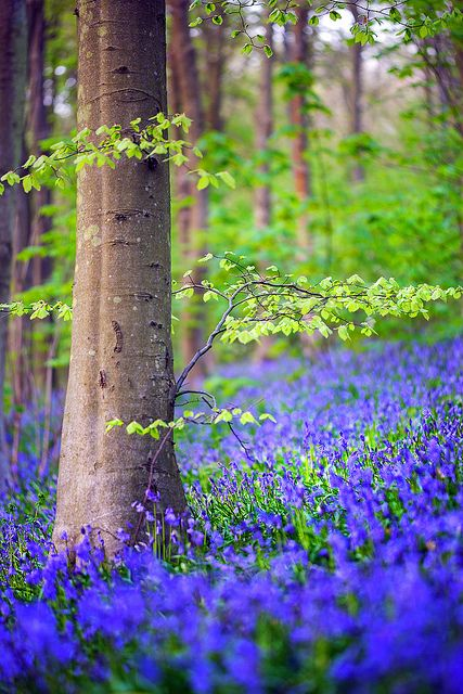 Bluebells in Friston Forest near the hamlet of West Dean in East Sussex, England by Alan MacKenzie