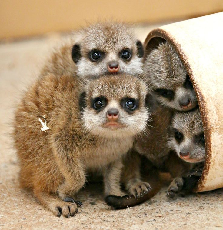 Six Meerkat pups were born at the Taronga Zoo - the largest litter in the zoo's history!  See video of the talkative pups at ZooBorns.com and at http://www.zooborns.com/zooborns/2016/12/taronga-welcomes-its-largest-ever-meerkat-litter.html