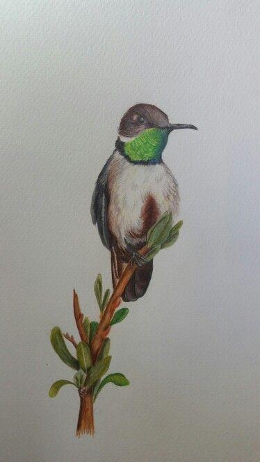 """Picaflor de la Puna. Serie """"aves de Chile"""". Artista coté Correa"""