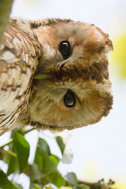 Tawny Owl is a stocky, medium-sized owl commonly found in woodlands across much of Eurasia.