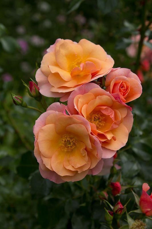 Rose 'Aprikola'