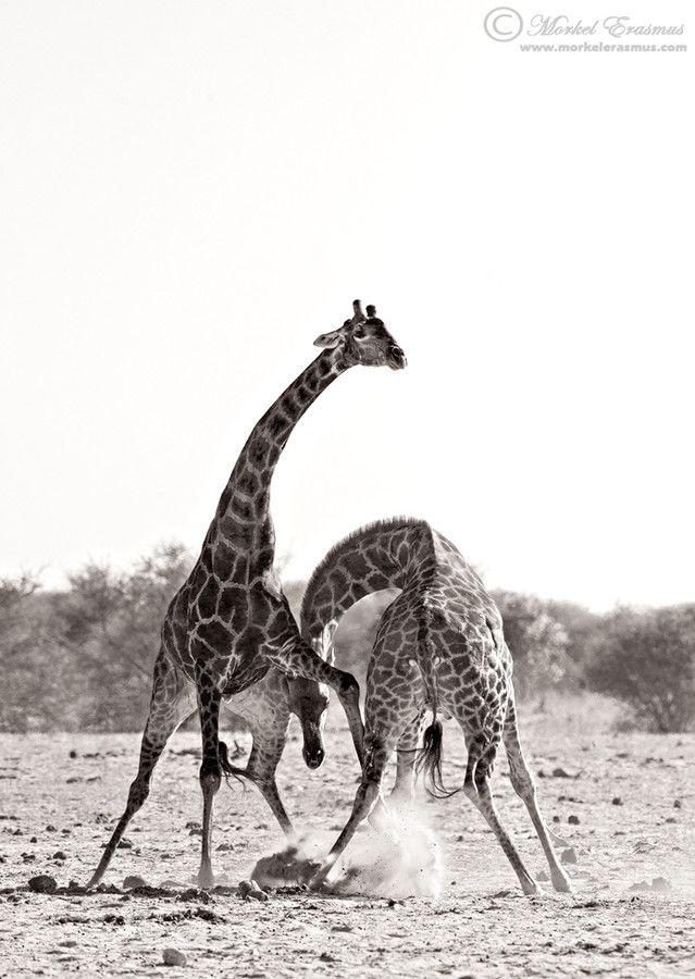 Some Necking by Morkel Erasmus on 500px. Two male giraffes fight for female affection with terrible ferocity and strength in Etosha, Namibia.
