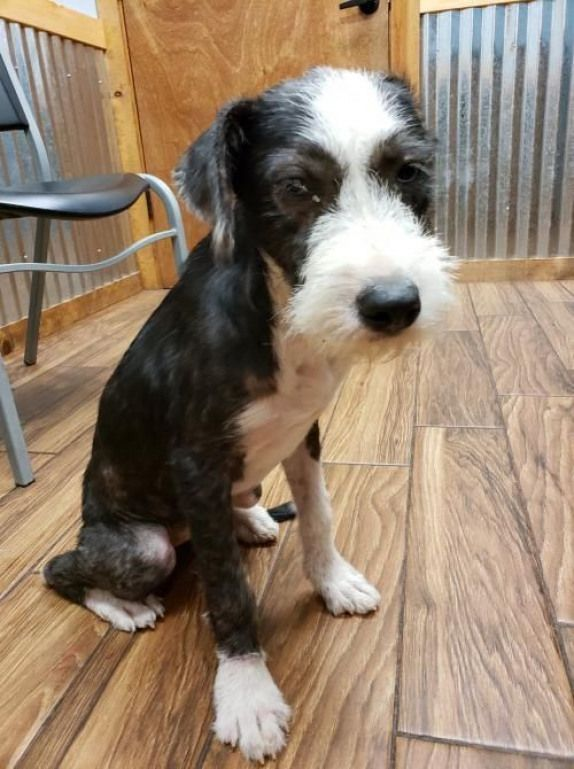 Adopt Duke White Puppy On Puppies White Puppies Pitbull Terrier