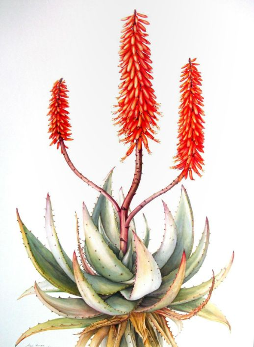 Image result for Aloe botanical