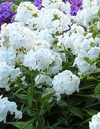 Syysleimu White Admiral Phlox paniculata  Perinteinen ja suosittu syysleimu kukkii tuoksuvin kukin loppukesällä. Ne sopivat mainiosti muiden perennojen joukkoon tai omaksi ryhmäkseen. Syysleimut viihtyvät parhaiten lievästi varjoisalla paikalla, missä kukinta kestää pitempään. White Admiral-lajike kasvaa 70-90 cm korkeaksi. Kukinta-aika on heinä-syyskuussa. Muhkeat kukat ovat puhtaanvalkoiset. Talvenkestoltaan syysleimut ovat kestäviä.