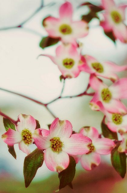 pink dogwoods blooming