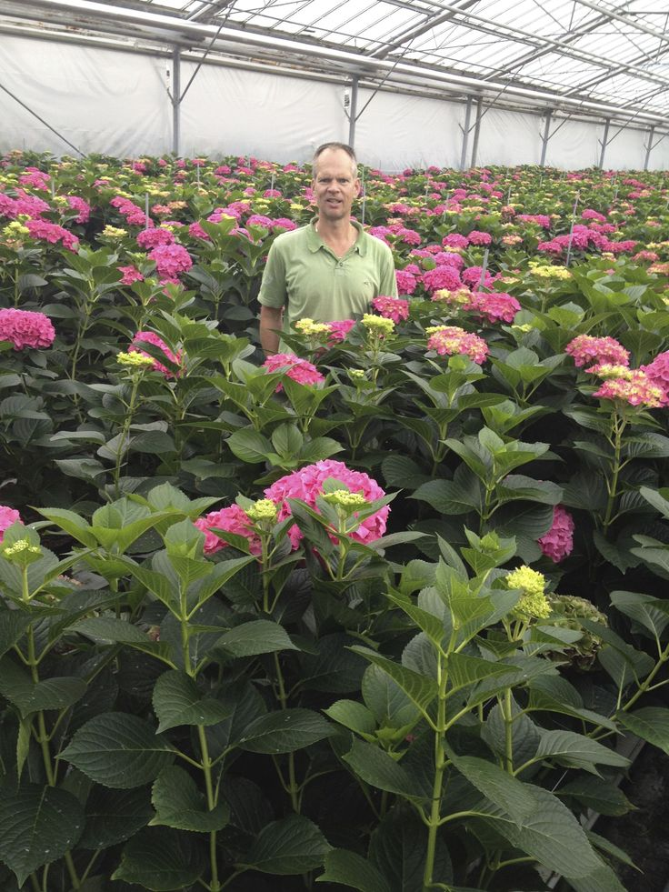 Rob between his Rodeo Red cut hydrangea. Rob is 1,95 meter...