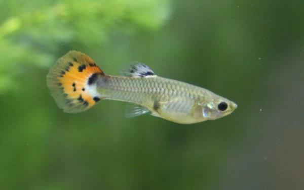 Fish Compatible With Guppies Tank Mates Guppy Fish Fish Breeding Guppy