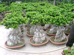 FicusBonsai Mad, Bonsai Trees, Ficus Bonsai, Bonsai E1, Tiny Trees, Ficus Httpbitlyhkkp7U, Ficus Http Bit Ly Hkkp7U