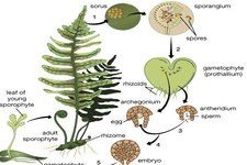 Concept Life Cycle of Seedless Vascular Plants