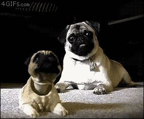 why we love pugs... oh that face...
