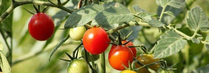 les 25 meilleures id es de la cat gorie tuteur tomate sur pinterest r colte tuteurs de jardin. Black Bedroom Furniture Sets. Home Design Ideas