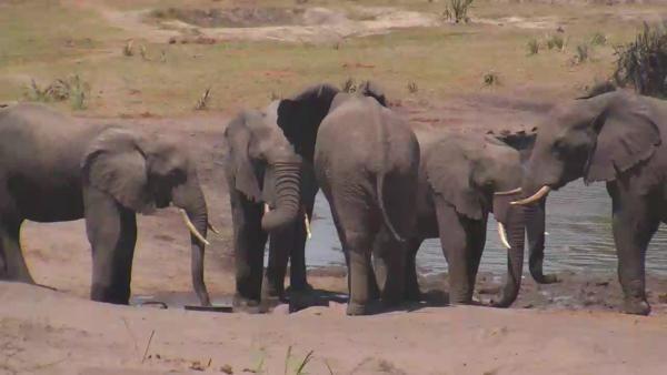 Elephants at Tembe. - Oct 6 2016 - 10:54am    Africam