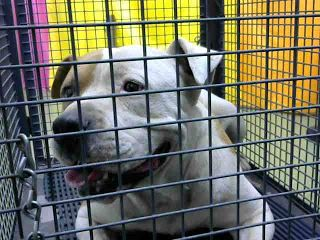 DEVORE,CA. EUTH LIST. 01/08/18. Aldo ID# A687892. Male Pit Bull Terrier. Age unknown. Rescue only. Behavior (deemed aggressive). Arrived 01/03/18. #PitBull