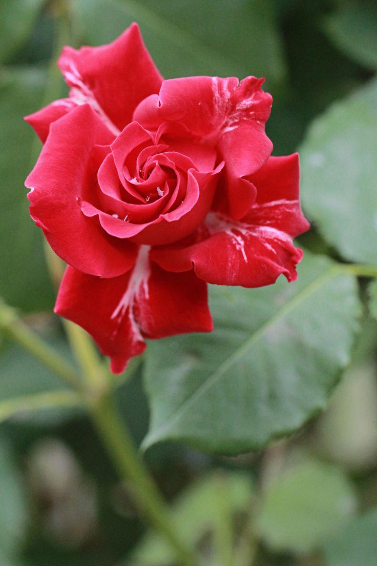 les 492 meilleures images du tableau fleurs roses reines sur pinterest belles roses. Black Bedroom Furniture Sets. Home Design Ideas