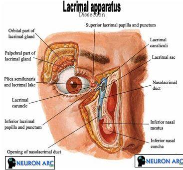 Lacrimal apparatus: Lacrimal gland, Lacrimal canaliculi, Lacrimal sac, Nasolacrimal duct