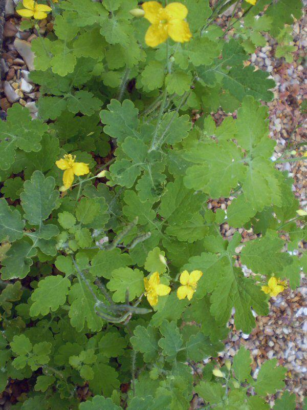 2 Organic Norfolk Celandine wild flower root system,Chelidonium majus. - The Garden Room
