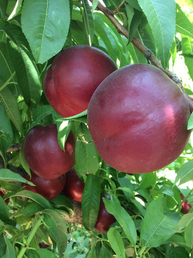 White nectarine Redix 119/3. New variety. 100% color, garnet and almost black, with very bright skin.