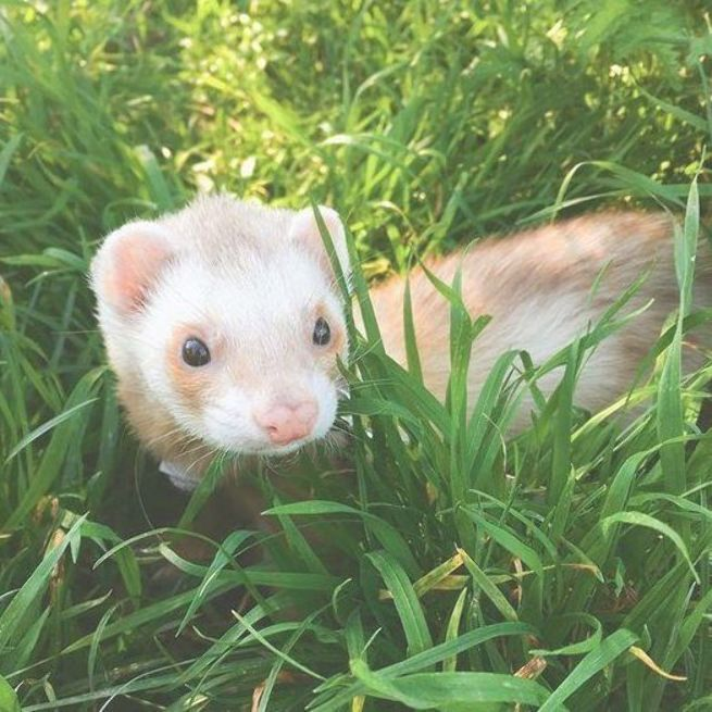Who Else Wants A Pet Ferret Pet Ferret Baby Ferrets Cute Ferrets