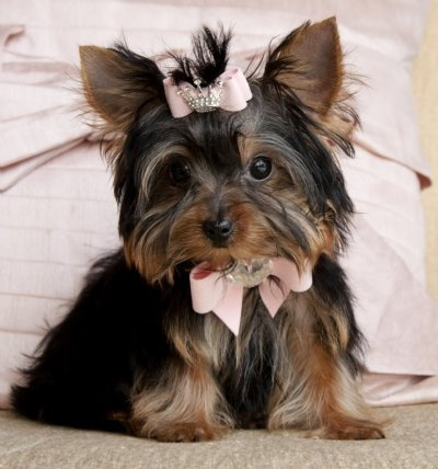 Tiny Teacup Yorkie PrincessShe is a Beauty!Tiny Tiny Tiny!SOLD!! Moving To Austin, TX