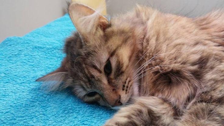 Det här är lilla Ester som håller på att vakna upp efter sin operation. Hon hade en livmoderinflammation med kraftigt förstorad och varfylld livmoder. Nu är den bortopererad och Ester mår bra! Även katter kan drabbas av livmoderinflammation även om det inte är lika vanligt som på hundar.