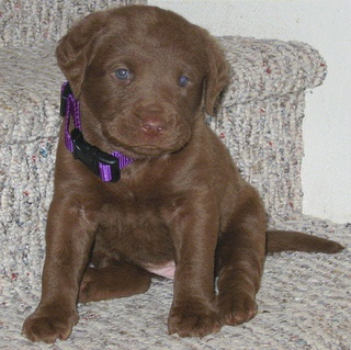 Chesapeake Bay Retriever Puppy Pic