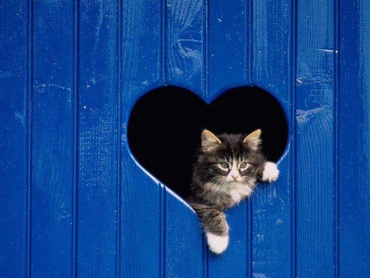 89941bc1e263efb2e4ecb63baed24f96 adorable animals cute cats - Heart blue...