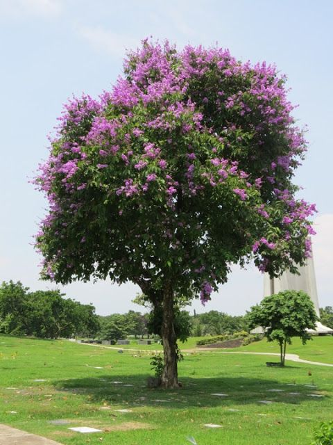 7 best philippine native trees images on pinterest